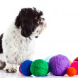 Stock Photo: Shih tzu with threadballs isolated on white background