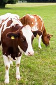 Cows on the field, grazing, milk, dairy products — Stock Photo