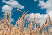 Wheat spike — Stock Photo