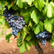 Grape vine close up — Stock Photo