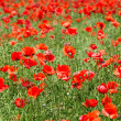 Poppy field — Stock Photo #20353807
