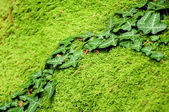 Ivy on mossy stone — Stock Photo