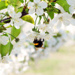 Blossoming cherry tree flowers and bee — Foto Stock