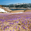 Crocus meadow in spring mountains — Stock Photo