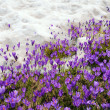 Crocuses growing through snow — Stock Photo