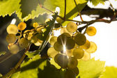 Grape and sun — Foto Stock