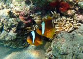 Nemo van ouders — Stockfoto
