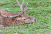 Red deer stag resting — Stock Photo