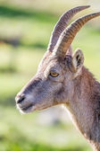 Profile of an Ibex doe — Stock Photo