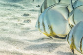 A couple of Batfish — Stock Photo