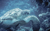 Tired Turtle (blue) — Stockfoto