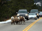 Bighorn Sheep at The Rocky Mountain National Park — Stock Photo