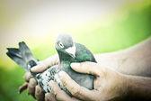 Dove — Stock Photo