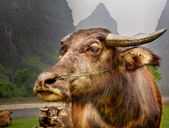The Guilin landscape pictures - Guilin Li River. Buffalo home. — Stock Photo