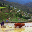 Rice terraces. Chinese farmer tills the soil on the paddy field. - Stock Photo