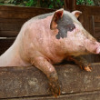 Pork. Pig stands on its hind legs, resting on the formwork paddock.  Pig in private farms. Animals on the farm. Meat breeds of animals, pig-breeding, animal breeding. — Stock Photo