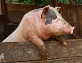 Pork. Pig stands on its hind legs, resting on the formwork paddock. Pig in private farms. Animals on the farm. Meat breeds of animals, pig-breeding, animal breeding. — Foto de Stock