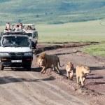ライオンズ、ンゴロンゴロ国立公園, タンザニアのプライドのための道路の旅観光客のジープ — ストック写真