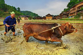Chinese farmer plowing a rice field using the pulling power red cow. Chinese peasant plowing paddy field, using power of buffalo April 9, 2010. Zhaoxing Dong ethnic minorities village, Liping County. — Stock Photo