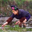 Chinese woman planting seeds of rice in a rice field. — Stock Photo