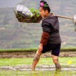 Chinese peasant woman with rose in hairdress, working the ricefield. — Stock Photo #30777803