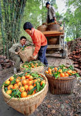 Chinese farmers unload truck with oranges in wicker baskets, Gua — Stock Photo