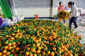 Chinese are discharged from box oranges, fruit in large pile — Stock Photo