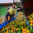 Stock Photo: Chinese farmer working on fruit washing machine, processes harvest oranges.