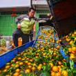 Chinese farmer working on fruit washing machine, processes harvest oranges. — Stock Photo
