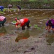 Stock Photo: Chinese women planting rice, standing knee-deep in water ricefields.