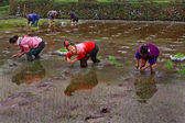 Chinese women planting rice, standing knee-deep in water the ricefields. — Stock Photo