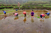 Chinese women planting rice in rice field, standing in water. — Stock Photo