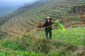 Asian elderly man, a peasant farmer shepherd, among rice terrace — Photo