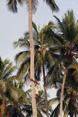 Young African man climbs up the coconut palm. — Stock Photo
