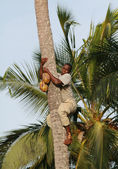 African man down from palm trees with coconut in hands. — Stock Photo