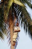 Black African climbed to the top of a palm tree. — Stock Photo