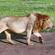 Постер, плакат: Satiated lion returned from successful hunt stained with blood sacrifices