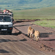 Постер, плакат: Jeep safari in Ngorongoro Tanzania tourists accompany family of lions