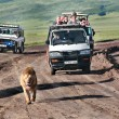 Постер, плакат: Wild lion walking along road chased by tourists in jeeps