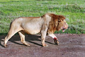 Satiated lion returned from successful hunt, stained with blood sacrifices. — Stock Photo
