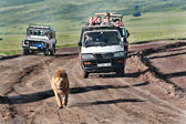 Wild lion walking along road, chased by tourists in jeeps. — Stock Photo