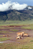 Tanzania Ngorongoro National Park, the family of African lions w — Stock Photo