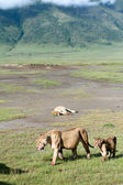 African predators in Ngorongoro National Park, lioness and lion cub. — Stock Photo