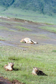 Lion cubs lying in  grass, national park volcano Ngorongoro, Tanzania — Stock Photo