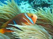 Pesci tropicali — Foto Stock