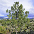 Pine tree — Stock Photo #22696551