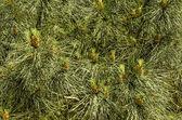 Pine cone — Стоковое фото