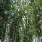 Row of eucalyptus trees — Stock Photo