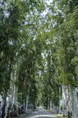 Row of eucalyptus trees — Stock Photo