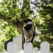 Crow — Stock Photo #33645015